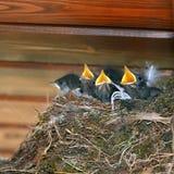 fågelungar Arkivbilder