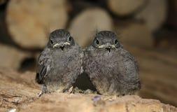 fågelungar fotografering för bildbyråer