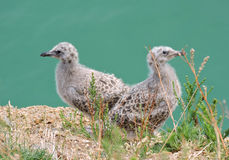 Fågelungar av seagullen Arkivbilder