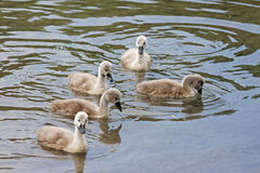 Fågelungar av svanen Arkivbild