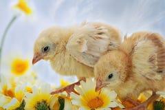 fågelungar easter Fotografering för Bildbyråer