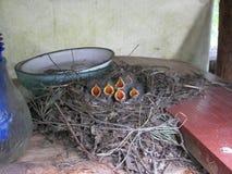 Fågelungar för en sädesärla Royaltyfria Foton