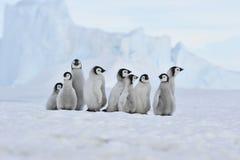 Fågelungar för kejsarepingvin i Antarktis Arkivbild