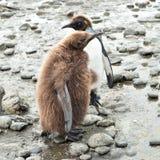 Fågelungar för konungpingvin Royaltyfri Fotografi