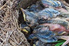 Fågelungar för sångtrast som sitter i rede Arkivfoto