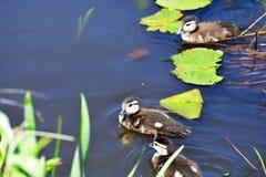 Fågelungar för träand tar ett bad i sjön royaltyfria foton