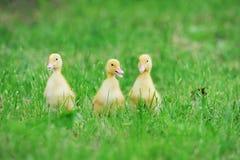 fågelungar fluffiga tre Royaltyfri Bild