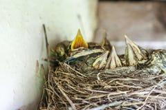 Fågelungar i redet Arkivbild