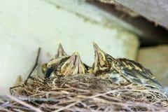 Fågelungar i redeunderroofen Arkivfoto