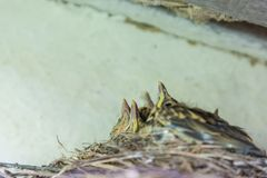 Fågelungar i redeunderroofen Royaltyfri Bild