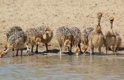 Fågelungar - morgondag framtid - Ostrich Arkivfoton