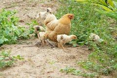Fågelungar och höna Royaltyfria Foton