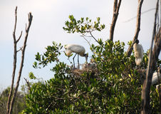 fågelungar som bygga bo wood storks Arkivbilder