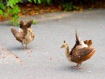 fågelungar som visar påfågelövning Arkivbilder