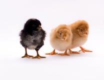 fågelungar tre Arkivbilder