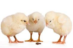 fågelungar tre barn fotografering för bildbyråer