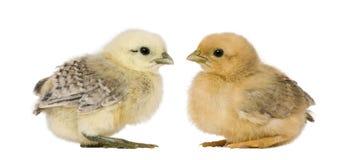 fågelungar två Royaltyfri Bild
