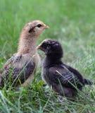 fågelungar två Fotografering för Bildbyråer