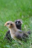 fågelungar två Arkivfoton
