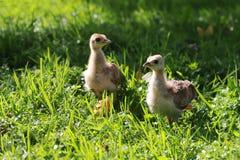 Fågelungarna av en påfågel är mycket liknande till hönor royaltyfria foton