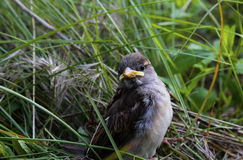 fågelunge Fotografering för Bildbyråer