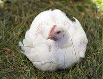 fågelunge Royaltyfri Foto