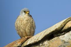 Fågelunge av tornfalken i taket Arkivbild