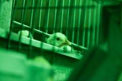 Fågelunge bak stänger Arkivbilder