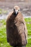 Fågelunge för konungpingvin Royaltyfria Bilder