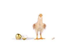 fågelunge och guld- ägg i studio mot en vit bakgrund royaltyfria bilder