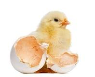 Fågelungeanseende bredvid dess ägg (2 gamla dagar) Royaltyfri Fotografi