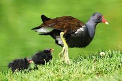 fågelungecommonmoorhen Arkivbild