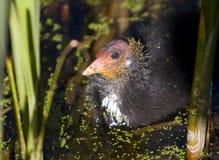 fågelungecootvasser Royaltyfri Fotografi