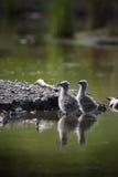 fågelungedammseagull två Royaltyfri Fotografi