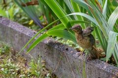Fågelungeförsöken att fördela dess vingar Gemensam Blackbird Animalistic Photohunting Arkivbilder
