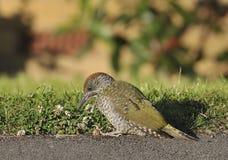 fågelungegröngöling Royaltyfri Fotografi