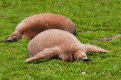 fågelungekonungpingvin två Arkivfoto