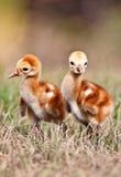 fågelungekransandhill royaltyfri foto