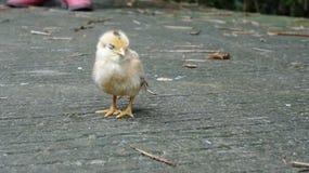 Fågelungen är sömnig, dess moder har borta långt royaltyfria foton