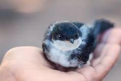 Fågelungen rymms av flickan i gömma i handflatan av din hand svala arkivfoto