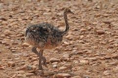 fågelungeostrich Royaltyfria Bilder