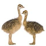 fågelungeostrich royaltyfri foto