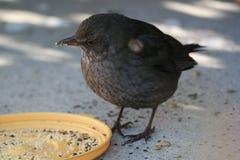 FågelUngern Royaltyfri Bild