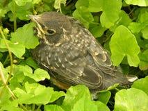 fågelungerobin royaltyfri foto