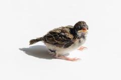 Fågelungesparv i solen royaltyfri bild