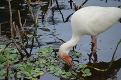 Fågelvadande i floden Royaltyfria Bilder