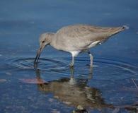 fågelvatten Royaltyfri Foto