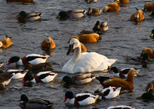 fågelvatten Arkivbild