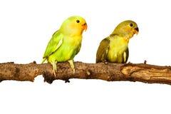 Fåglar älskar på isolerat royaltyfria bilder