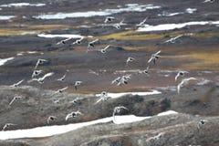 fåglar över tundra arkivbild
